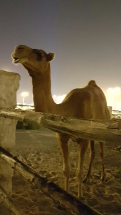 Camels at the Souq Waif